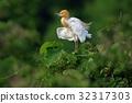 cattle egret, fraud, heron 32317303