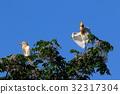 cattle egret, fraud, heron 32317304