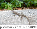 동물, 희귀, 도마뱀 32324899
