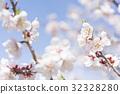梅 白梅花 日本杏花 32328280