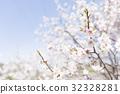梅 白梅花 日本杏花 32328281