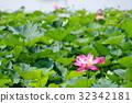 ancient lotus, bloom, blossom 32342181