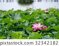 ancient lotus, bloom, blossom 32342182