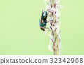 Fly pollinating of flower corn in green field 32342968