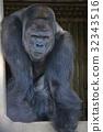 大猩猩 動物 動物園 32343516