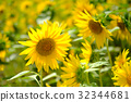 向日葵 向日葵园 夏天 32344681