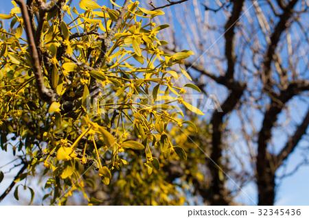 Mistletoe on a tree 32345436