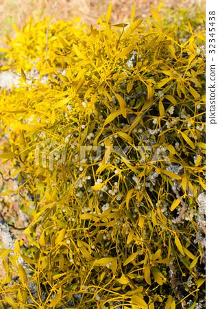 Mistletoe on a tree 32345438