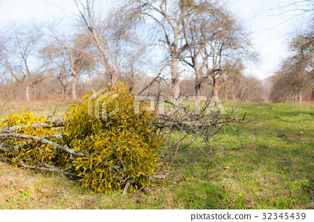 Mistletoe on a tree 32345439