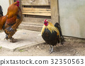 chicken, rooster, hen 32350563