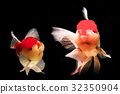 Two goldfish are together in a black backdrop 32350904