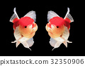 Two goldfish are isolated on black background 32350906
