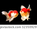 Two goldfish are isolated on black background 32350929