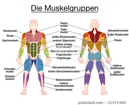 Muscle Diagram German Text Male Body 32351469
