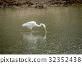 Yellow-billed egret standing in the water. 32352438