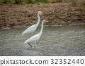 Two Yellow-billed egrets standing in the water. 32352440
