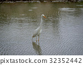 Yellow-billed egret standing in the water. 32352442