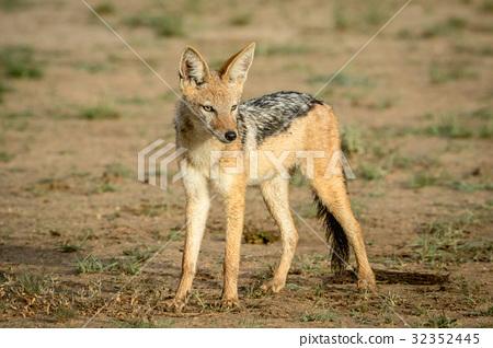 Black-backed jackal looking around. 32352445