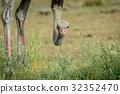ostrich bird wild 32352470