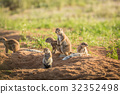 Group of Ground squirrels in the sand. 32352498