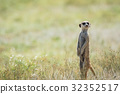 Meerkat on the look out in the Kalagadi. 32352517