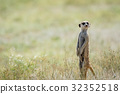 Meerkat on the look out in the Kalagadi. 32352518