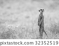 Meerkat on the look out in the Kalagadi. 32352519