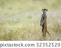 Meerkat on the look out in the Kalagadi. 32352520