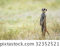 Meerkat on the look out in the Kalagadi. 32352521