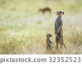 Meerkat on the look out in the Kalagadi. 32352523