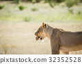 Lioness with Leopard tortoise in the mouth. 32352528