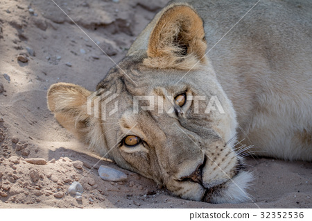 Lion laying down and starring. 32352536