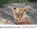 Young male Lion starring at the camera. 32352537