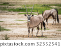Gemsbok standing in the sand and starring. 32352541