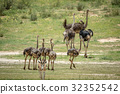 Family of Ostriches in the grass. 32352542