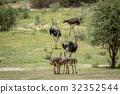 ostrich bird wild 32352544