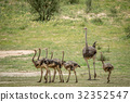 Family of Ostriches in the grass. 32352547