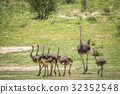 Family of Ostriches in the grass. 32352548