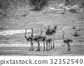 Family of Ostriches in the grass. 32352549
