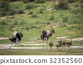 Family of Ostriches in the grass. 32352560
