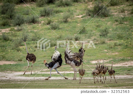 Family of Ostriches in the grass. 32352563