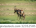Red hartebeest and calf walking away. 32352585