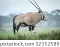 Gemsbok standing in the grass in the rain. 32352589