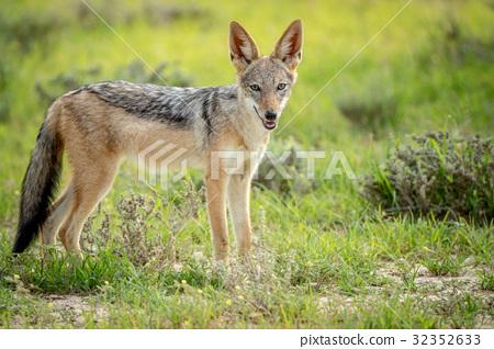 Black-backed jackal looking at the camera. 32352633