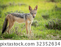 jackal wildlife animal 32352634