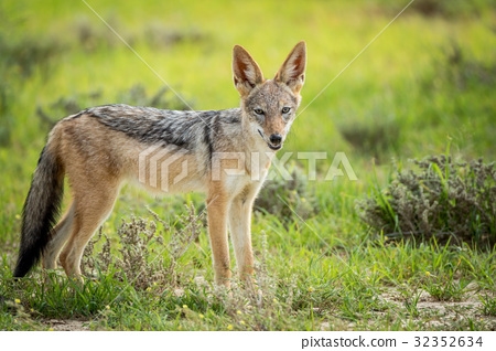 Black-backed jackal looking at the camera. 32352634