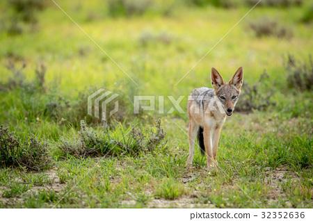 Black-backed jackal looking at the camera. 32352636