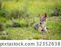 豺 野生生物 动物 32352638