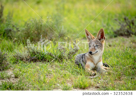 Side profile of a Black-backed jackal. 32352638