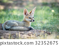 Cape fox laying down in the sand. 32352675